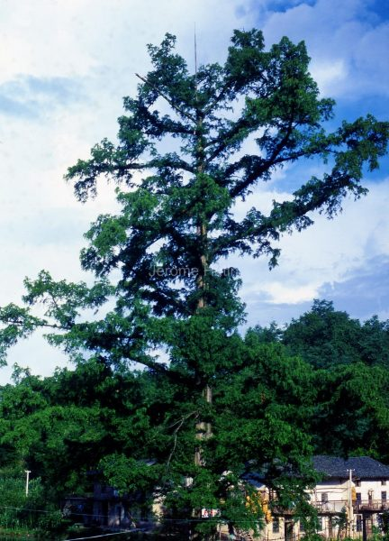 metasequoia_chine001