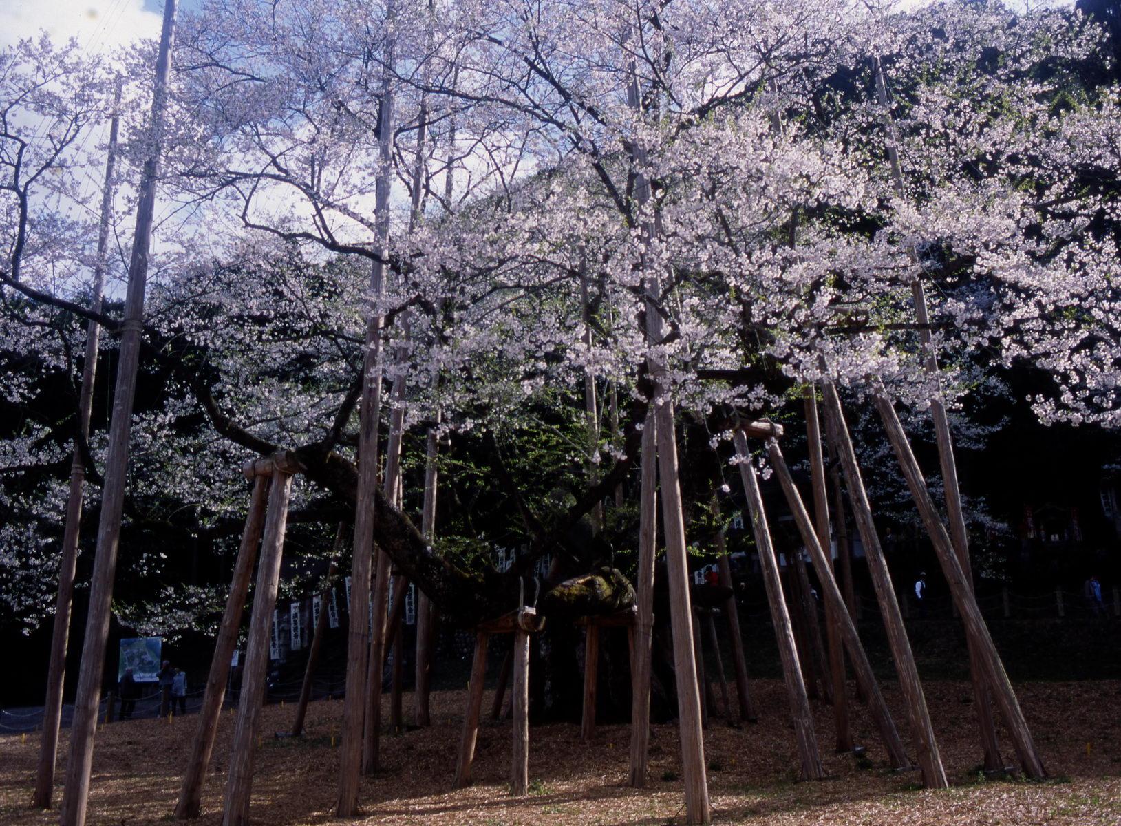 cerisier_gifu_japon