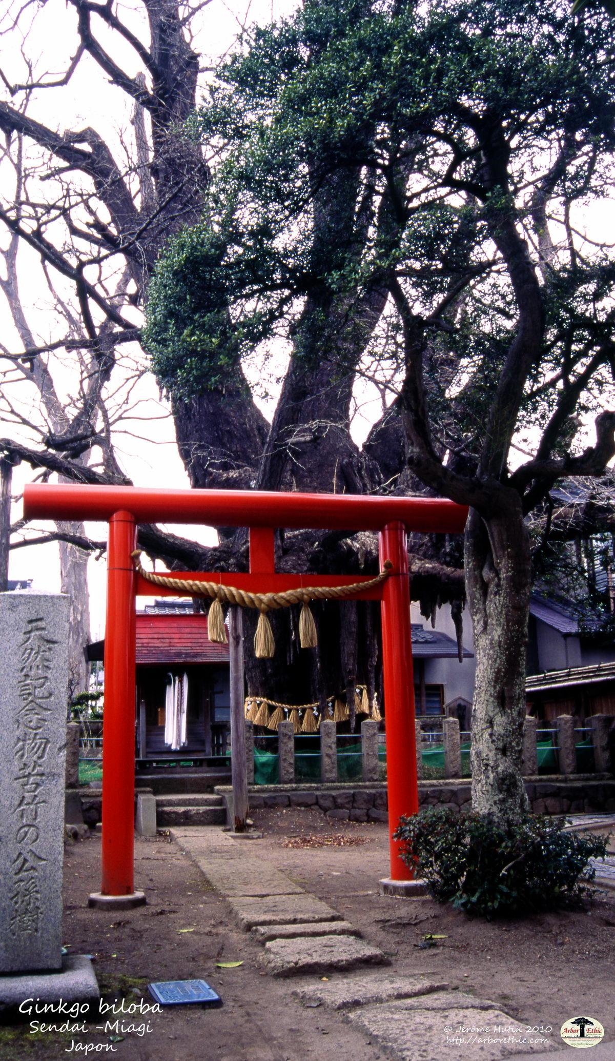 japon_ginkgo_biloba_sendai_miagiken_003
