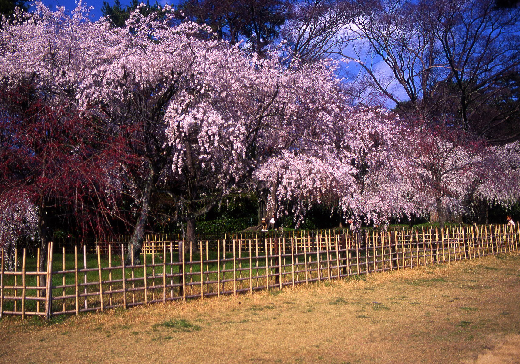 cerisier_kyoto_japon_001