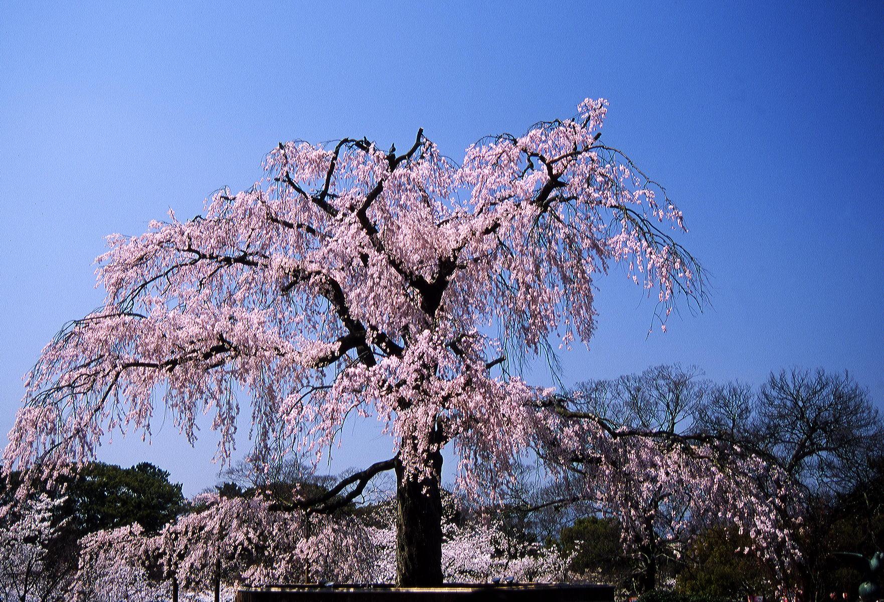 cerisier_kyoto_japon_004