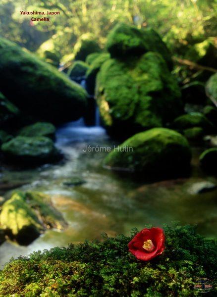 camelia_yakushima_japon_001