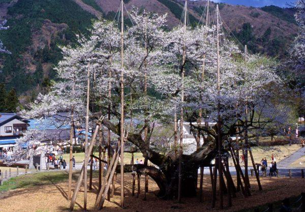 cerisier_gifu_002