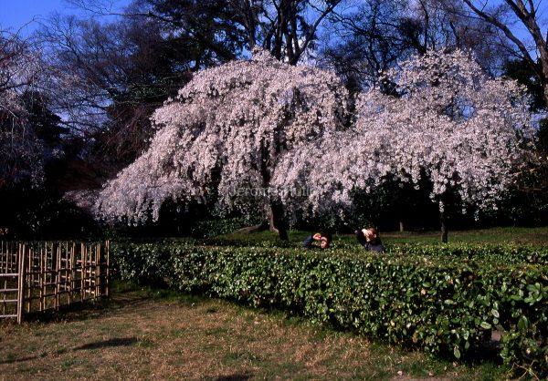 cerisier_kyoto_japon_002