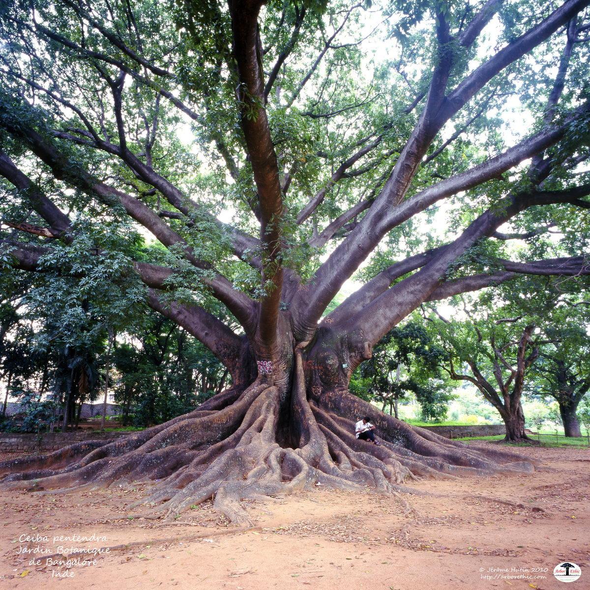 monde_inde_ceiba_pentendra_bangalore_072