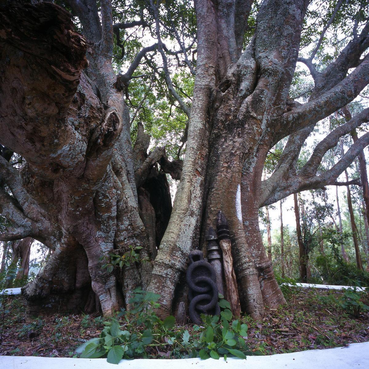 arbre_kallatty_nilgiris_inde_001