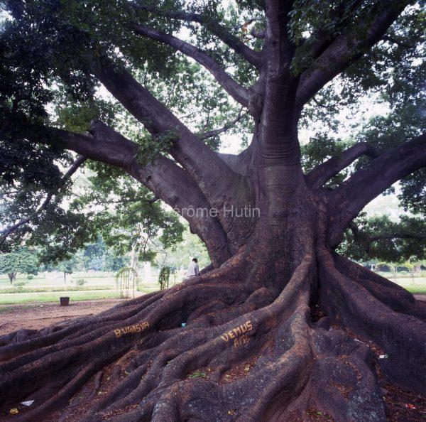 ceiba_pentadra_bangalhore_inde_002