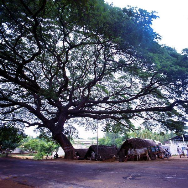 arbre_route_banghalore_mysore_inde_001