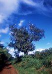 kigelia_africana_kenya_001