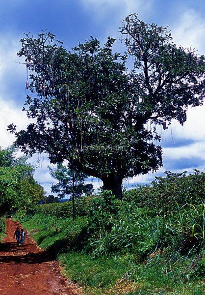 kigelia_africana_kenya_003