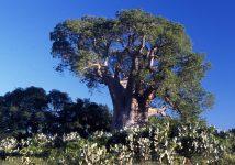 baobab_ampanihy_madagascar_001