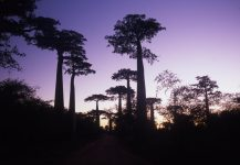baobabs_allee_madagascar_002