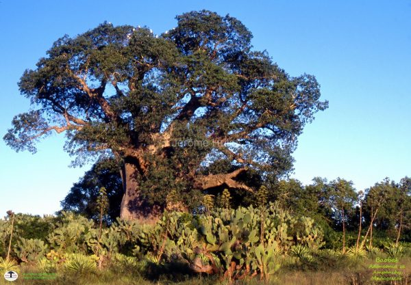 monde_madagascar_baobab_ampanihy_143