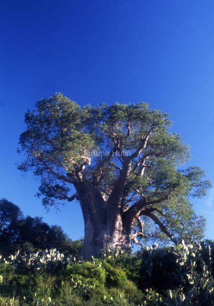 baobab_ampanihy_madagascar_002