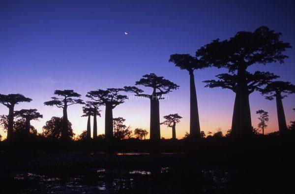baobabs_allee_madagascar_003