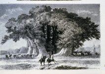 gravure_chataignier_cent_chevaux_sicile