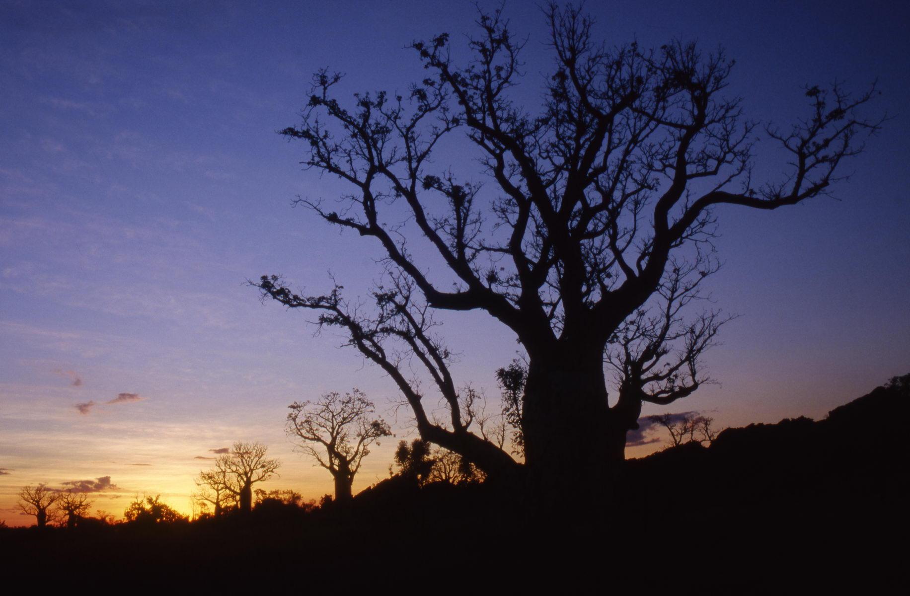 Baobab, Kimberley, Australie