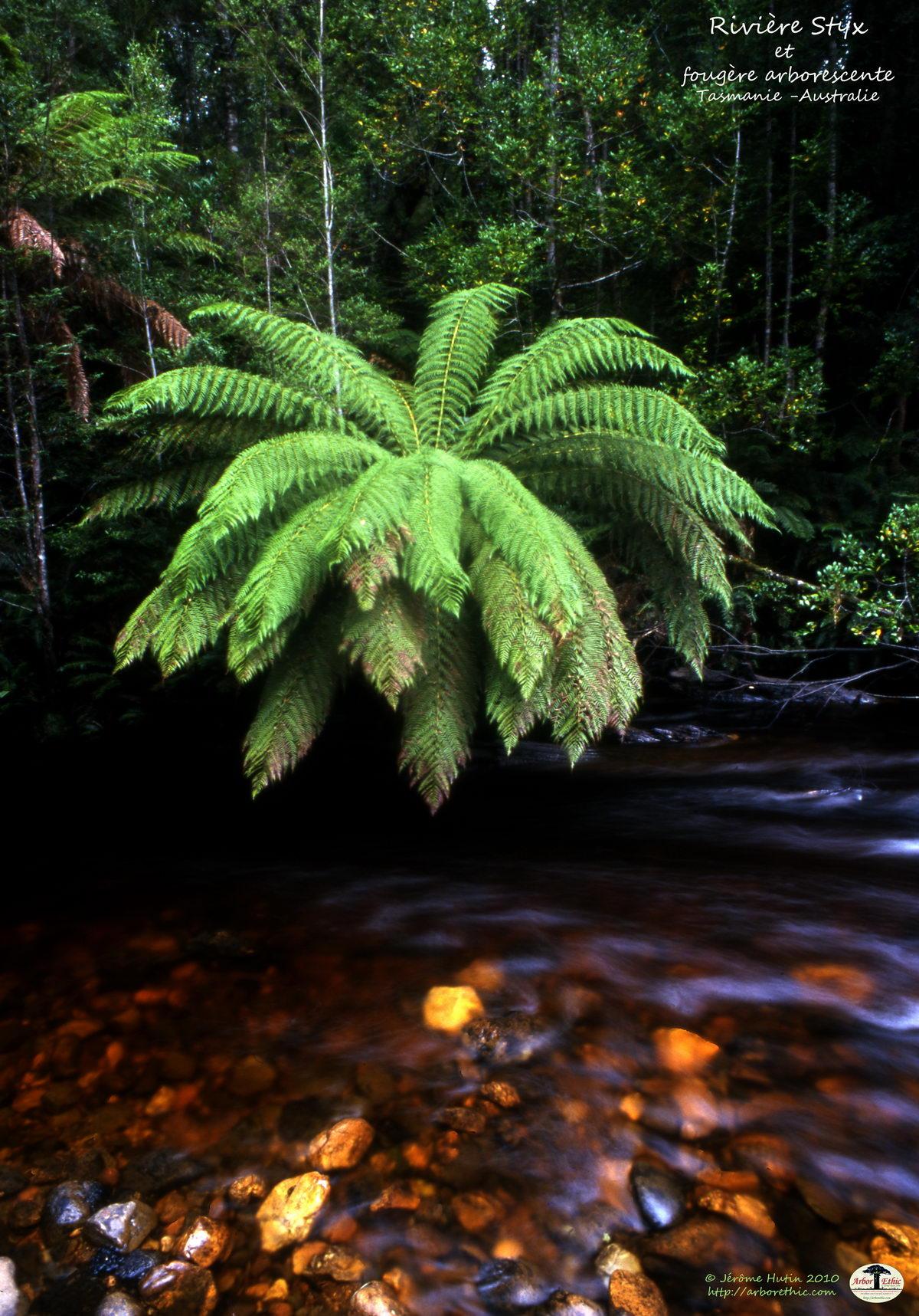 Rivière Styx et fougère arborescente, Tasmanie
