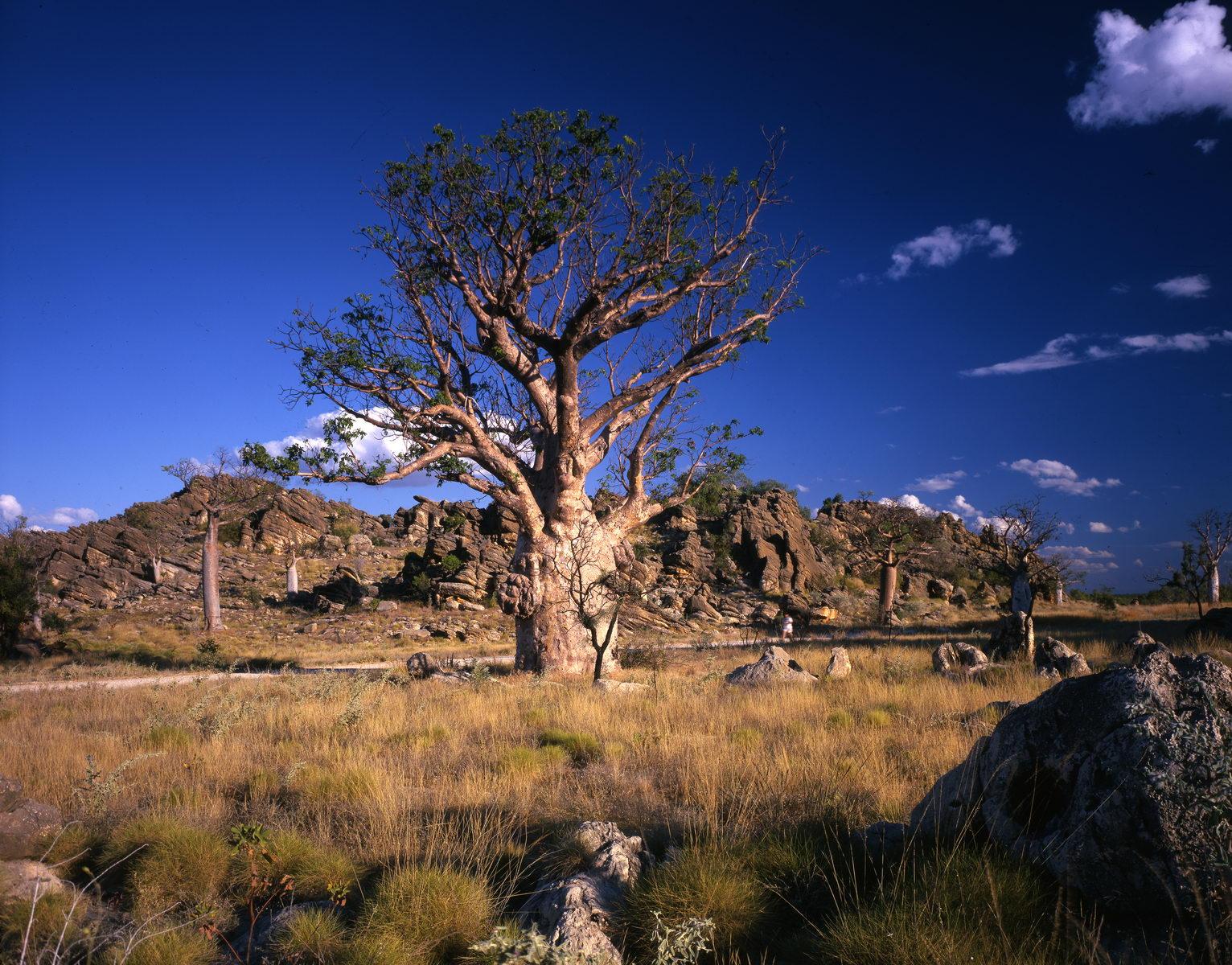 baobabs dans le kimberley, Australie