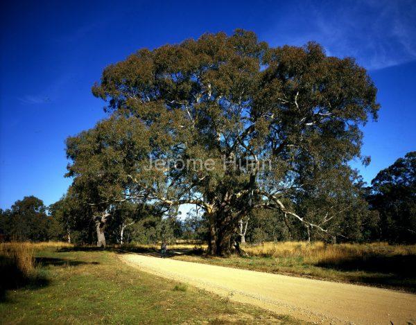 Eucalyptus à Kilmore, Australie