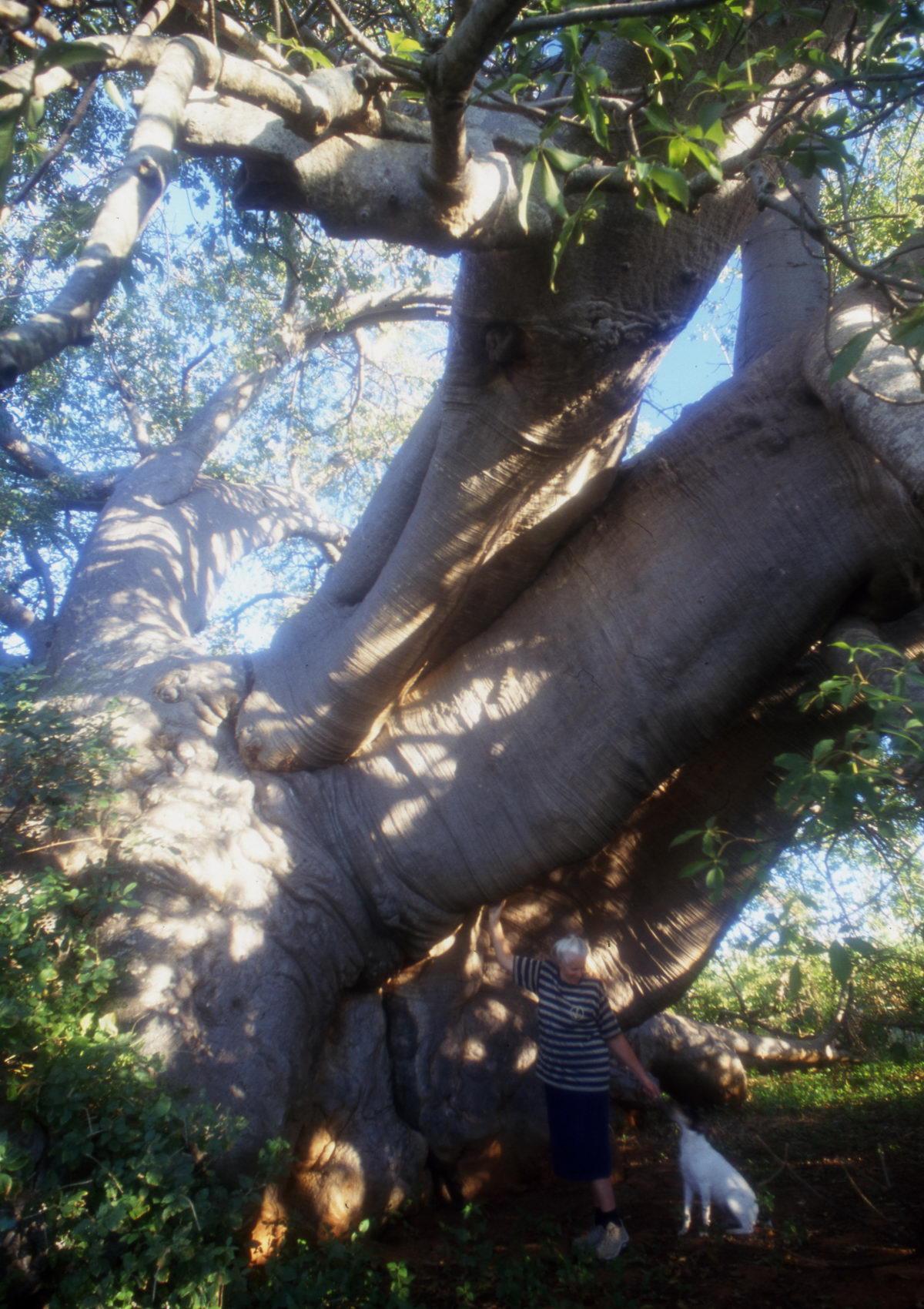 baobab de Duiwelskloof, Afrique du Sud