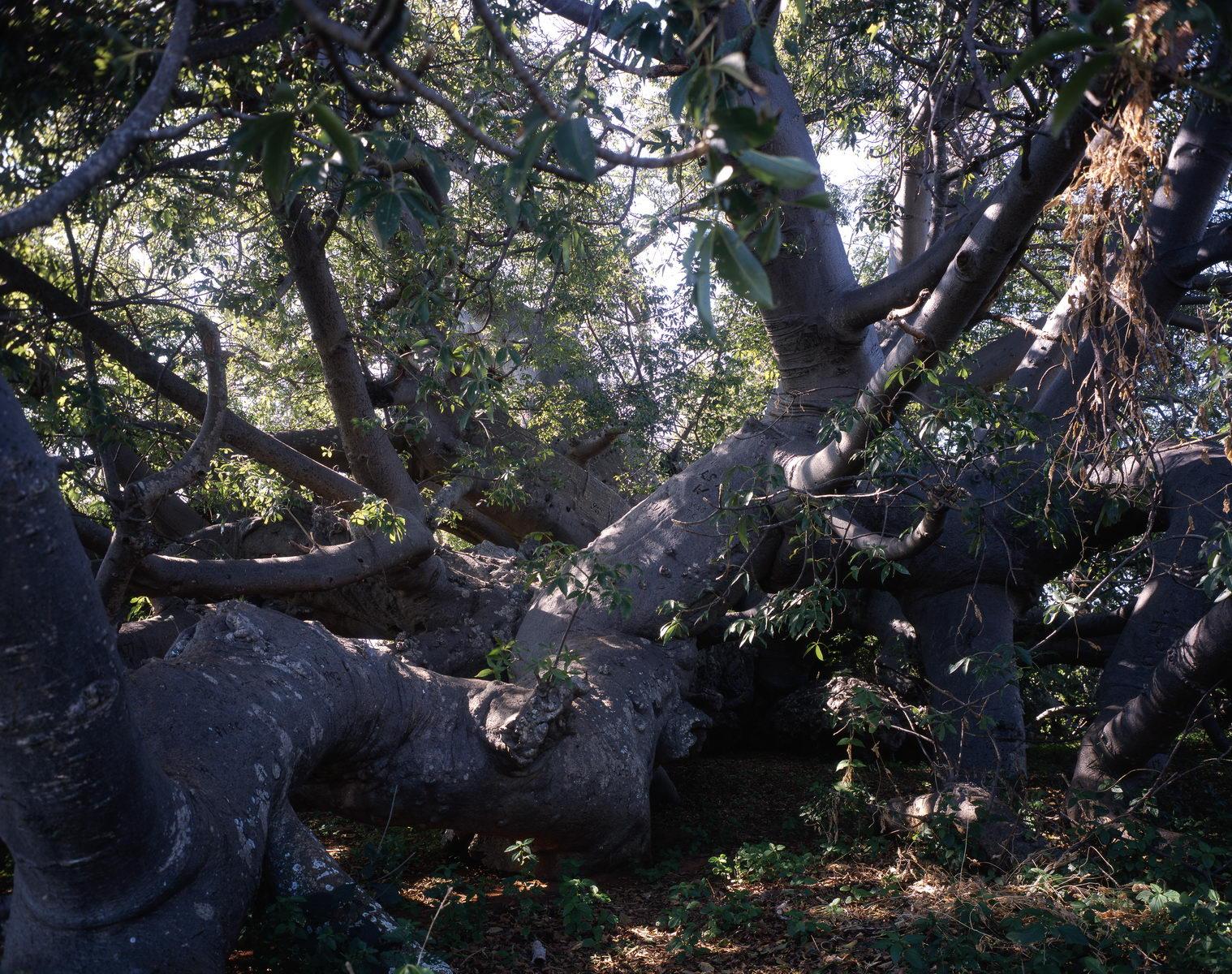 baobab glencoefarm, Afrique du Sud
