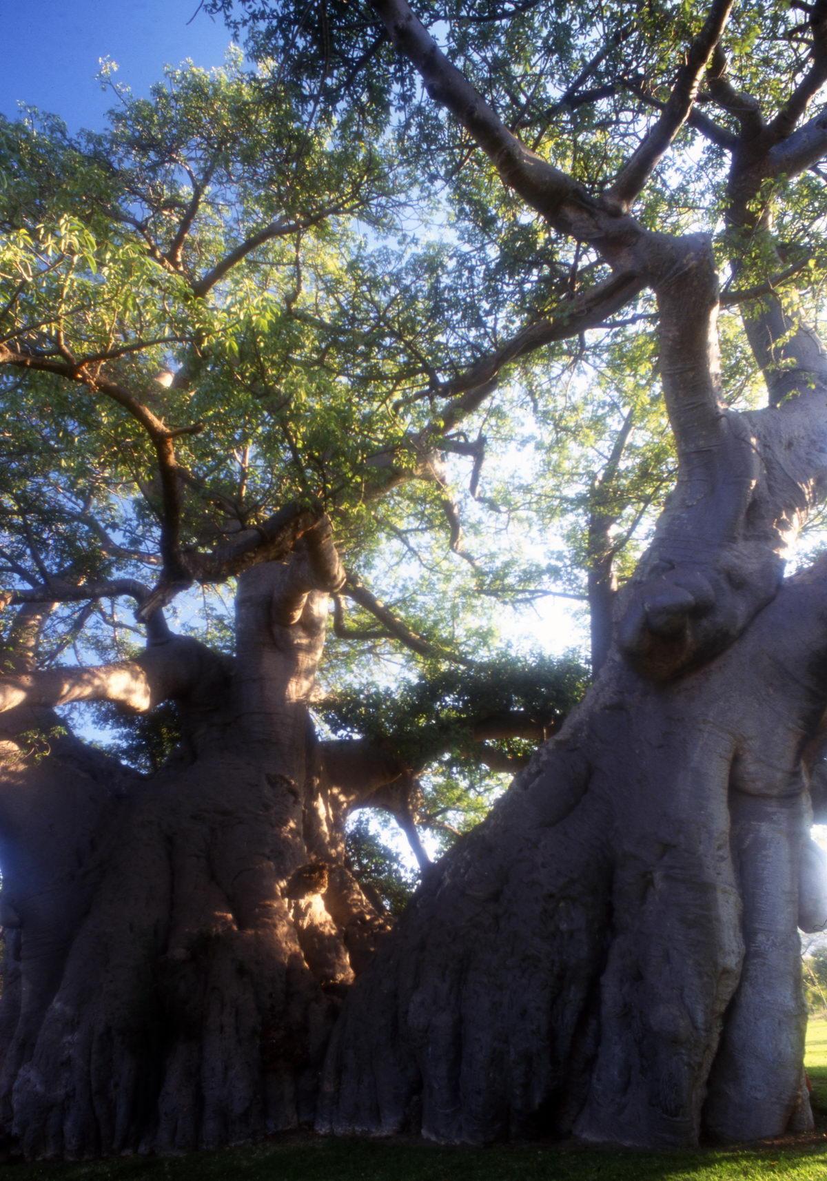 baobab platland Afrique du Sud