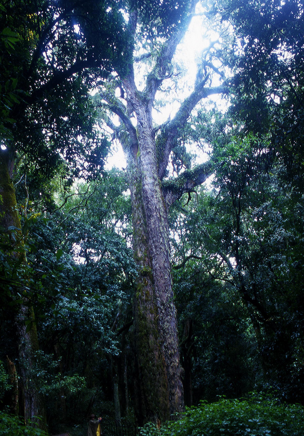 podocarpus Letaba Afrique du Sud
