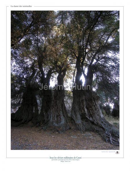 Oliviers millénaires de Cateri, Corse