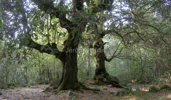 chenes verts à Muraciolli, Corse