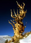 bristlecone_californie_usa_001