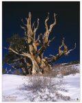 bristlecone_pine2_a4