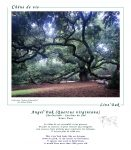 chene_angel_oak