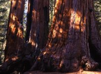 giant_sequoias_californie_usa_001