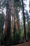 giant_sequoias_californie_usa_002