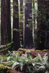 rockefeller_grove_californie_usa_001