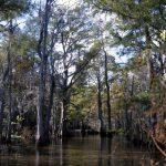usa_louisiane_cypres_chauve_sauvie_island_swamp_003