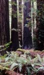 sequoia_rockfeller_grove_002_usa