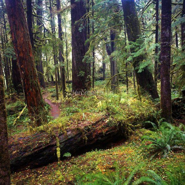 foret_quinault_lake_washington_states_usa