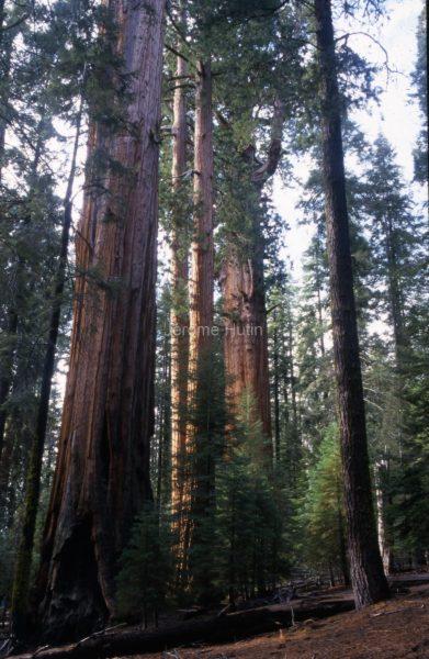 giant_sequoias_californie_usa_002