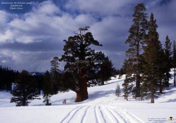monde_arbres_090_genevrier_sonorapass_usa