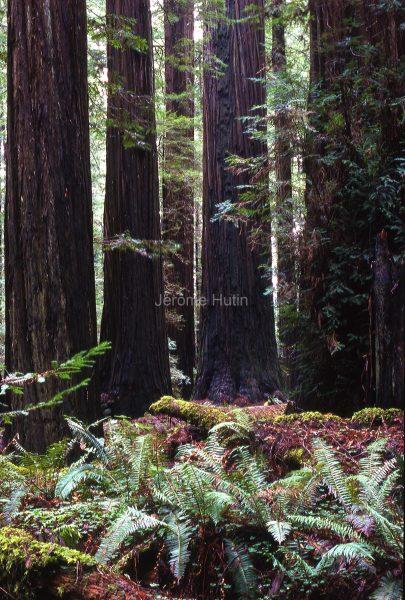 rockefeller_grove_californie_usa_001