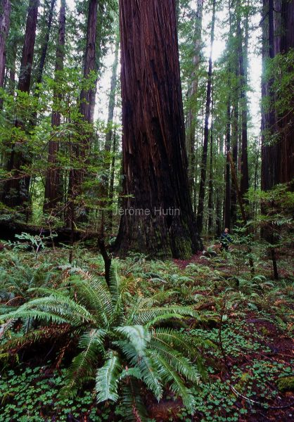 rockefellergrove_sequoia_californie_usa_003