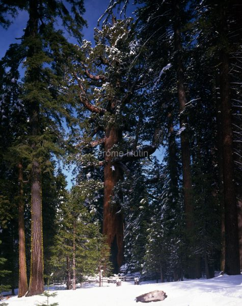 sequoia_grizzly_giant_001