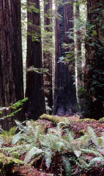 sequoia_rockfeller_grove_002_usa