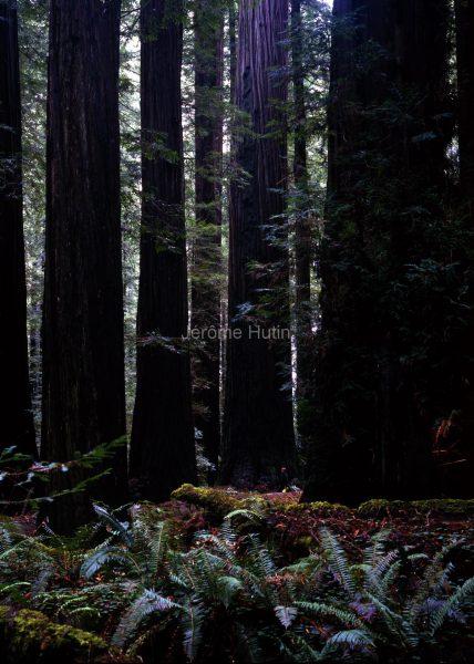 sequoia_rockfeller_grove_usa