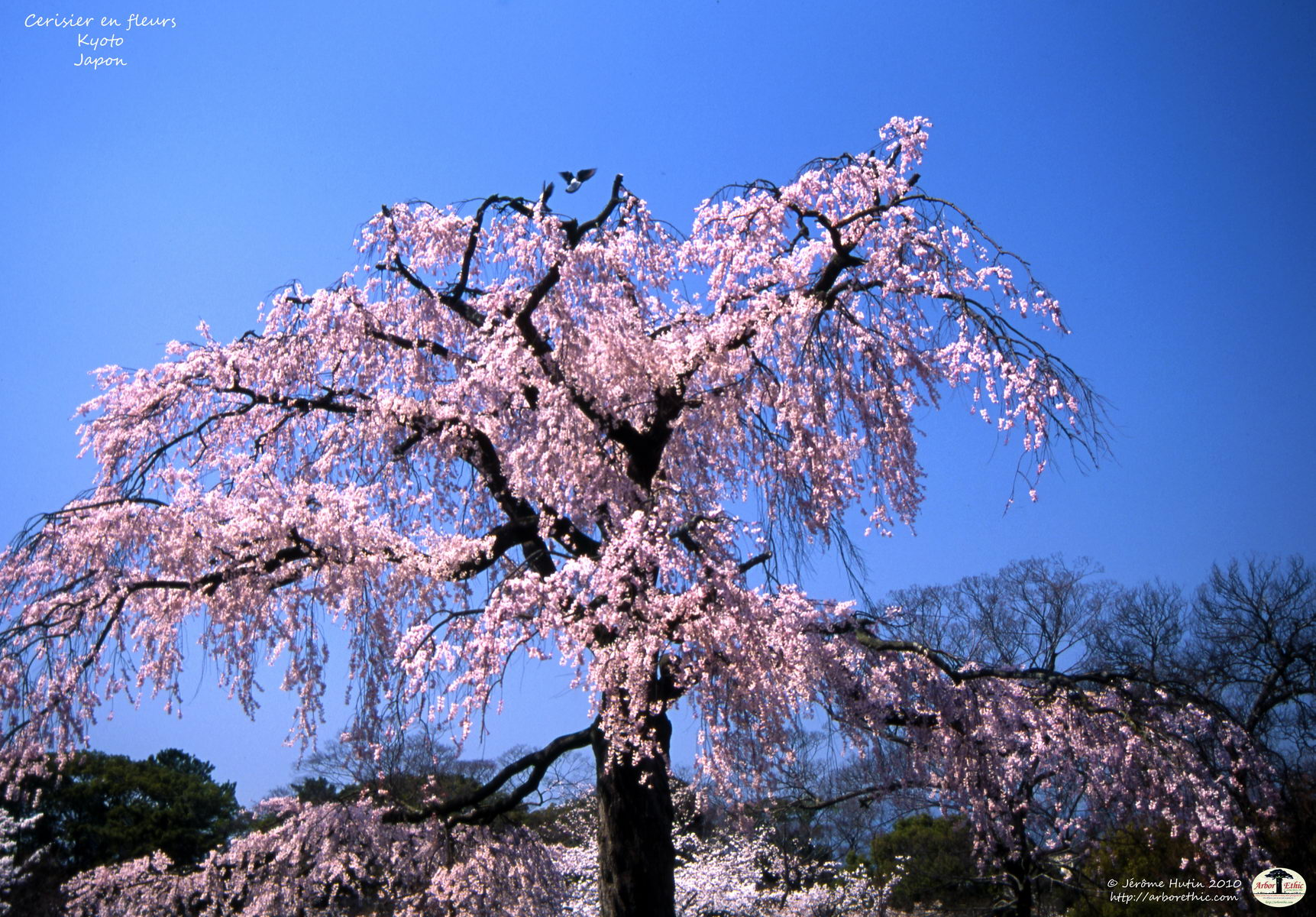 japon_cerisier_kyoto_010