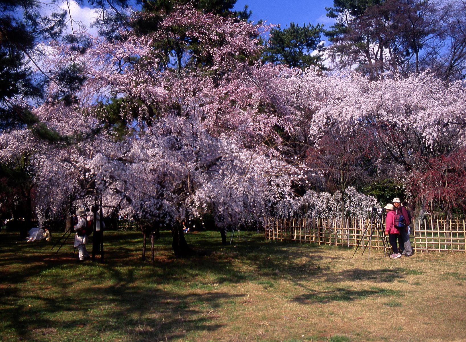 cerisier_kyoto_japon_003
