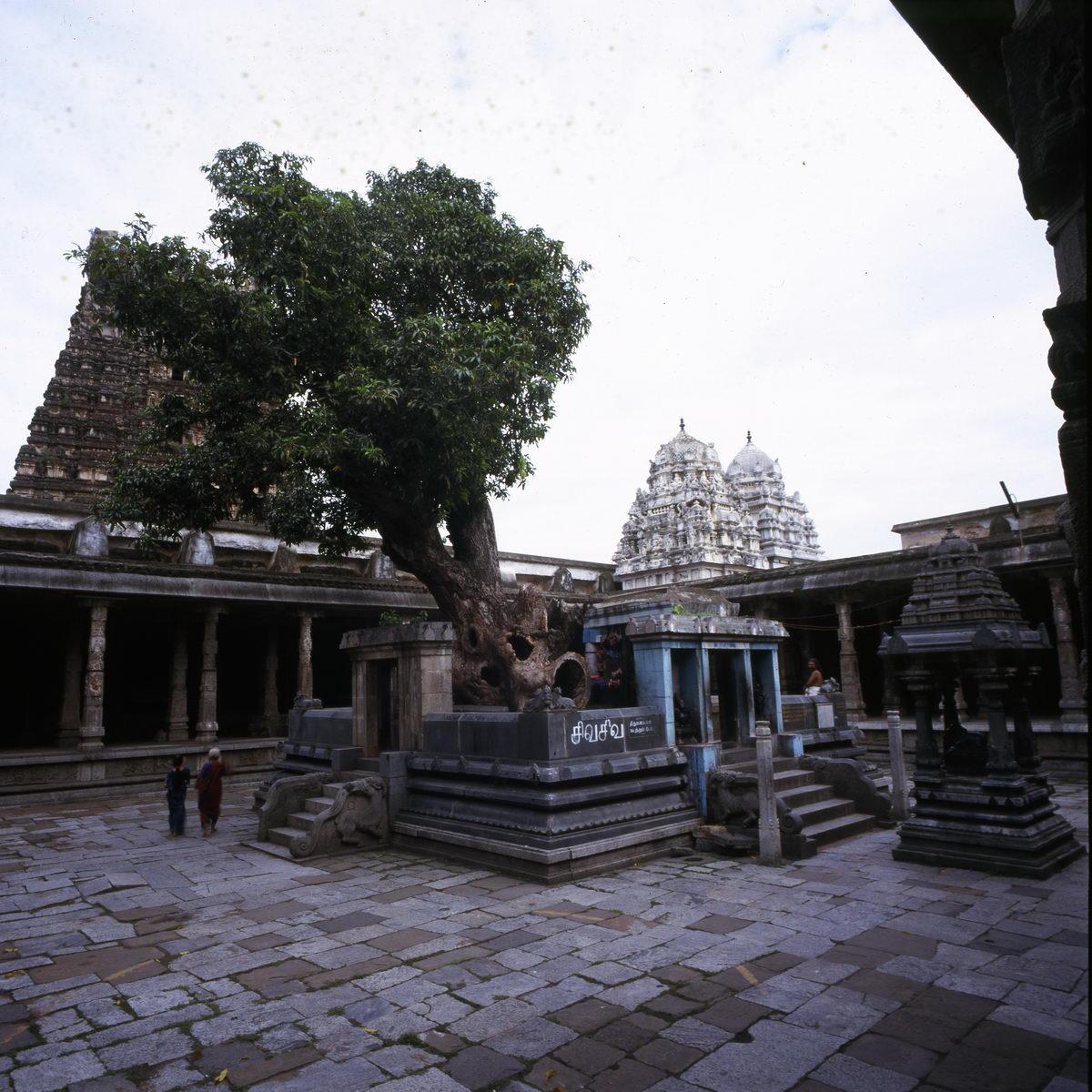 manguier_kanchapuram_inde_001
