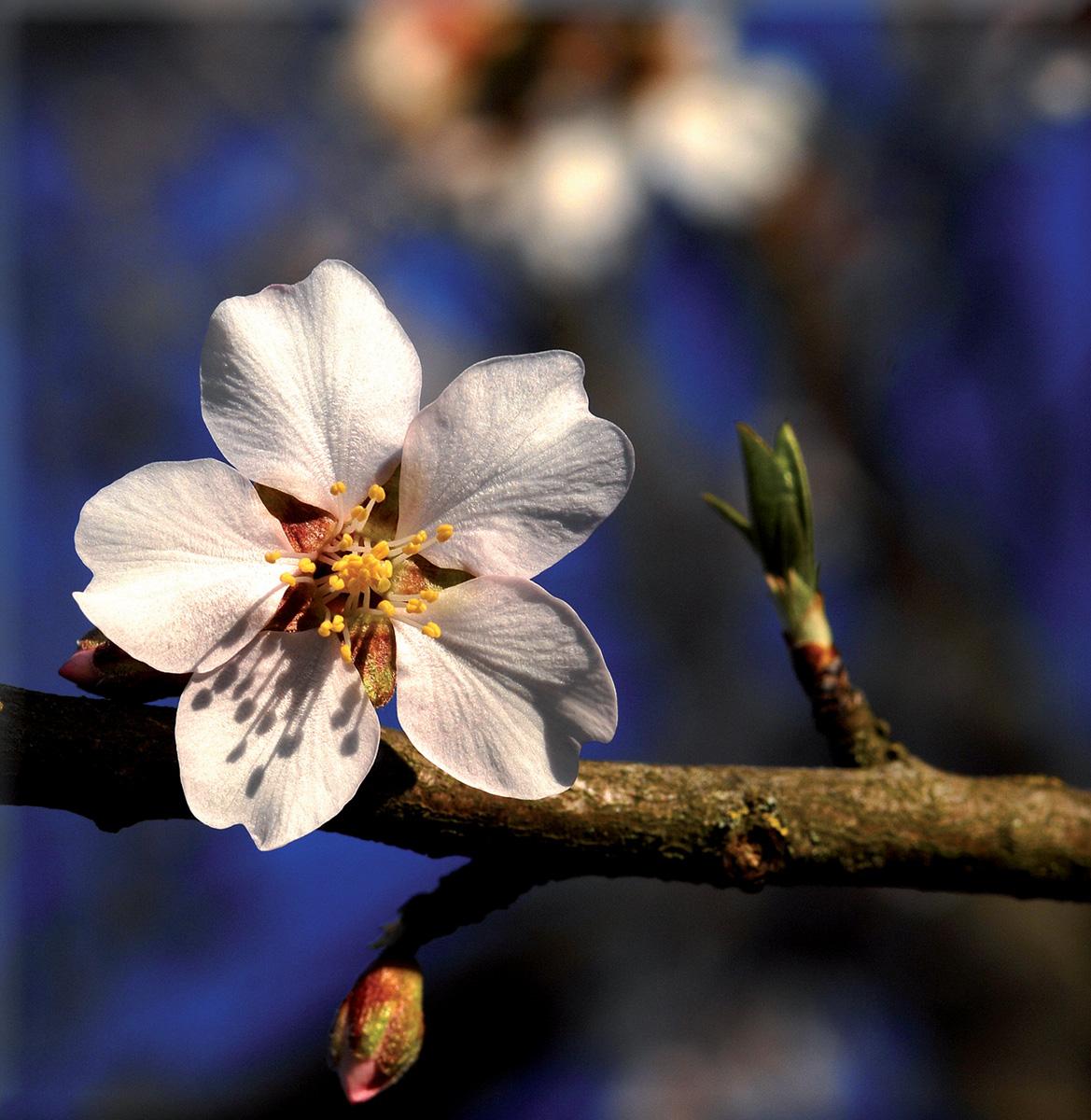 fleur_amandier
